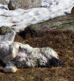Hund, der auf getrocknetem Gras nahe Schneefeld schläft stockbilder