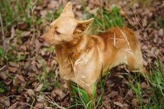 Hund, der auf getrockneten Blättern mit grünem Gras steht und aufmerksam zur Seite schaut stockbild