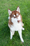 Hund, der auf grünem Feld sitzt Stockfoto