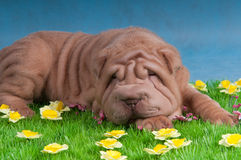 Hund, der auf Gras mit Blumen schläft Lizenzfreie Stockfotos