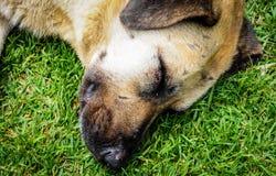 Hund, der auf Gras schläft lizenzfreies stockbild
