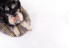 Hund, der auf Kissen liegt und oben schaut Lizenzfreie Stockfotos