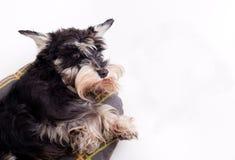 Hund, der auf Kissen liegt und oben schaut Lizenzfreie Stockbilder