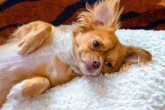 Hund, der auf Kissen sich entspannt Stockbilder