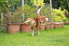 Hund, der auf Rasen pinkelt stockfotografie