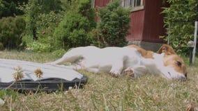 Hund, der auf Rasen sich entspannt stock video footage