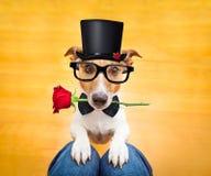 Hund, der auf Schoss bittet stockfoto
