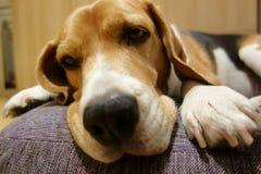 Hund, der auf seinem Bett bleibt lizenzfreie stockbilder