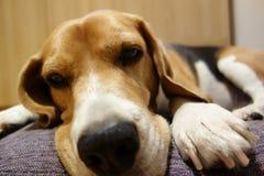 Hund, der auf seinem Bett bleibt lizenzfreie stockfotos