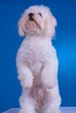 Hund, der auf seinen Hinterfahrwerkbeinen steht Stockbild