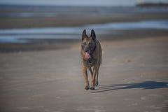 Hund, der auf Strand geht Stockfoto