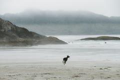 Hund, der auf Strand im Nebel läuft lizenzfreie stockbilder