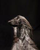 Hund, der auf Studio aufwirft Stockbild