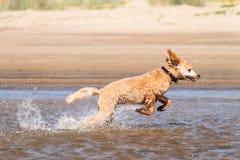 Hund, der auf Wasser läuft lizenzfreies stockbild
