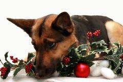 Hund, der auf Weihnachtsdekoration legt Lizenzfreie Stockfotografie