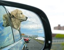 Hund, der aus Autofenster heraus schaut Stockfoto