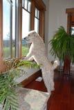 Hund, der aus Fenster heraus schaut Lizenzfreies Stockbild