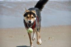 Hund, der Ball auf dem Strand jagt Stockfoto