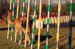 Hund in der Beweglichkeit Lizenzfreies Stockbild