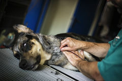 Hund, der Bluttransfusion tut Lizenzfreies Stockbild