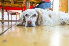 Hund, der am Bretterboden liegt Stockbild