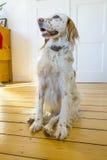 Hund, der am Bretterboden sitzt Stockfotos