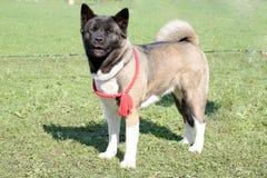 Hund der Brut Akita-inu Stockfoto