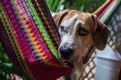 Hund in der bunten Hängematte stockfotos