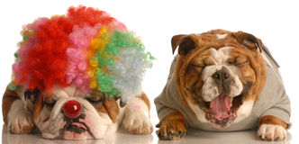 Hund, der am Clown lacht Stockfoto