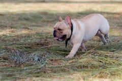 Hund, der in das Feld läuft und spielt Stockfotografie