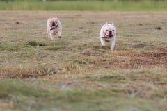 Hund, der in das Feld läuft und spielt Lizenzfreies Stockbild