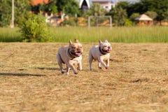 Hund, der in das Feld läuft und spielt Lizenzfreies Stockfoto
