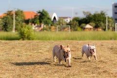 Hund, der in das Feld läuft und spielt Stockbilder