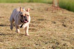 Hund, der in das Feld läuft und spielt Stockfoto