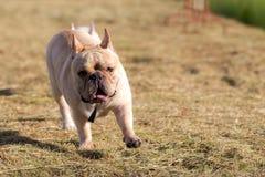 Hund, der in das Feld läuft und spielt Stockbild