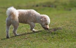 Hund, der das Gras riechend steht Lizenzfreies Stockbild