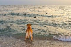Hund, der das Meer betrachtet Lizenzfreie Stockfotos