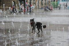 Hund, der in den Wasserbrunnen spielt Stockfotos