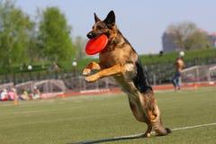 Hund, der in der Flugwesenplatte spielt Stockfotos