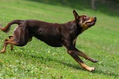 Hund, der in der Flugwesenplatte spielt Lizenzfreie Stockfotos