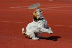 Hund, der in der Flugwesenplatte spielt Stockbilder