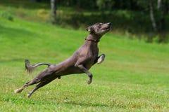 Hund, der in der Flugwesenplatte spielt Lizenzfreies Stockbild