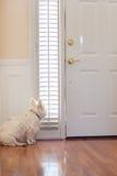 Hund, der an der Tür wartet Stockfoto