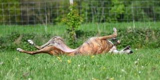 Hund, der in der Wiese liegt Stockfoto