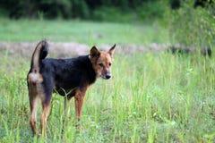 Hund, der in der Wiese steht Stockfotos