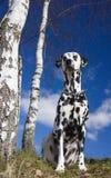 Hund, der die Sonne nahe der Birke genießt Lizenzfreie Stockbilder