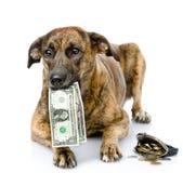 Hund, der Dollar in seinem Mund hält Auf weißem Hintergrund Lizenzfreie Stockfotos