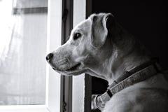Hund, der durch ein Fenster wartet Lizenzfreie Stockfotos