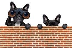 Hund, der durch Ferngläser schaut Stockfoto