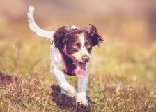 Hund, der durch Gras läuft Stockfotografie